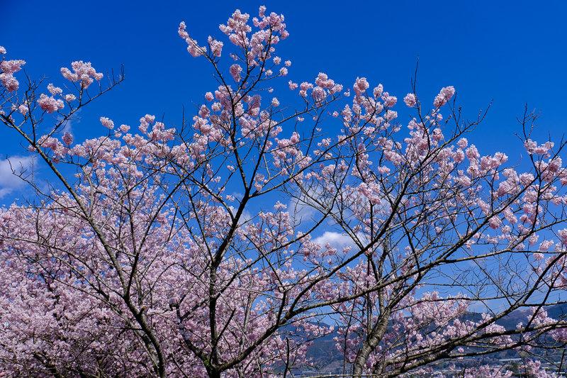 20190314_ハラネ春めき桜_2