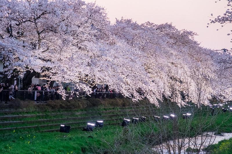 20180330_野川桜ライトアップ_5