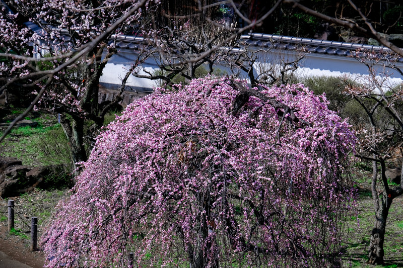 20190305_大倉山公園梅_11