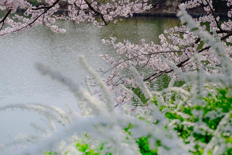 20180327_三ッ池公園桜__6