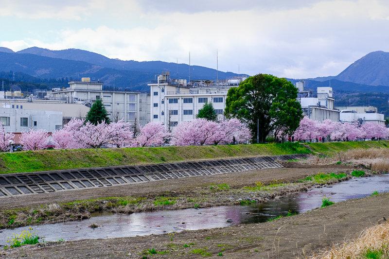 20190314_狩川春めき桜_2
