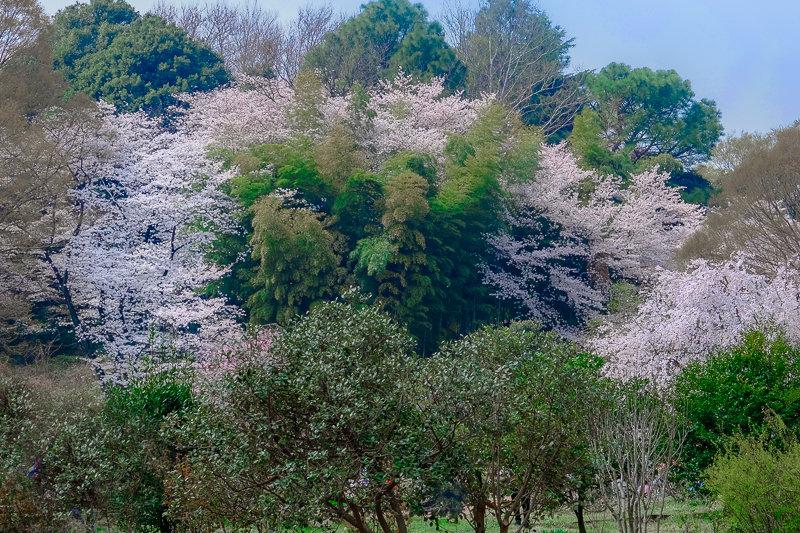 20180327_三ッ池公園桜__12