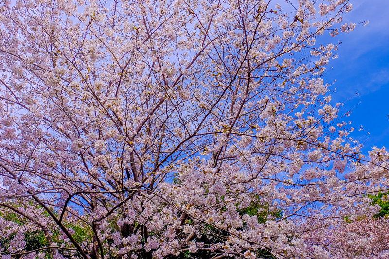 20180326_菅刈・西郷山公園桜_6