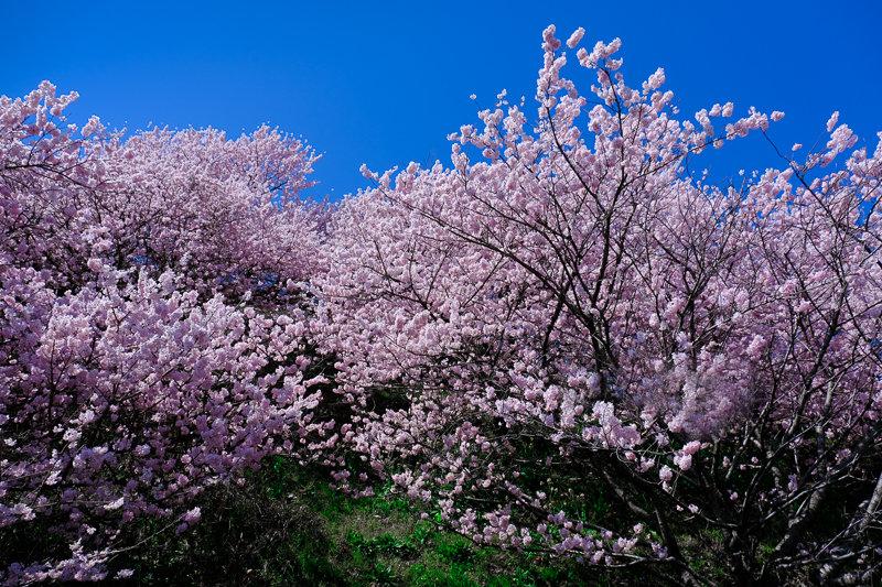 20190314_ハラネ春めき桜_9