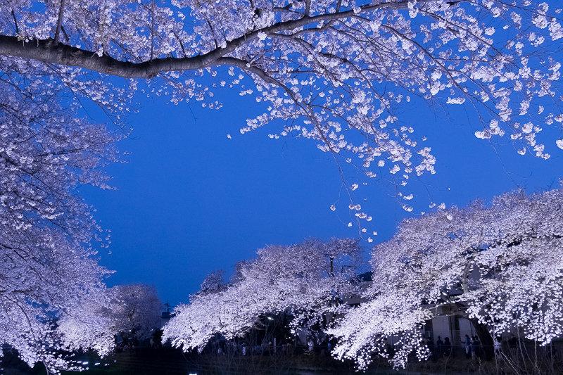 20180330_野川桜ライトアップ_7