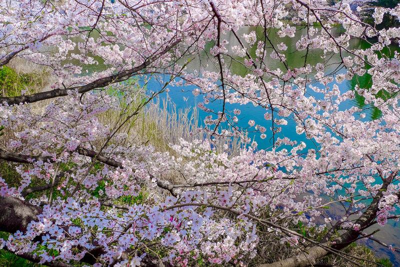 20180327_三ッ池公園桜__15