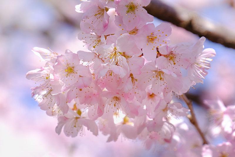 20190314_ハラネ春めき桜_3