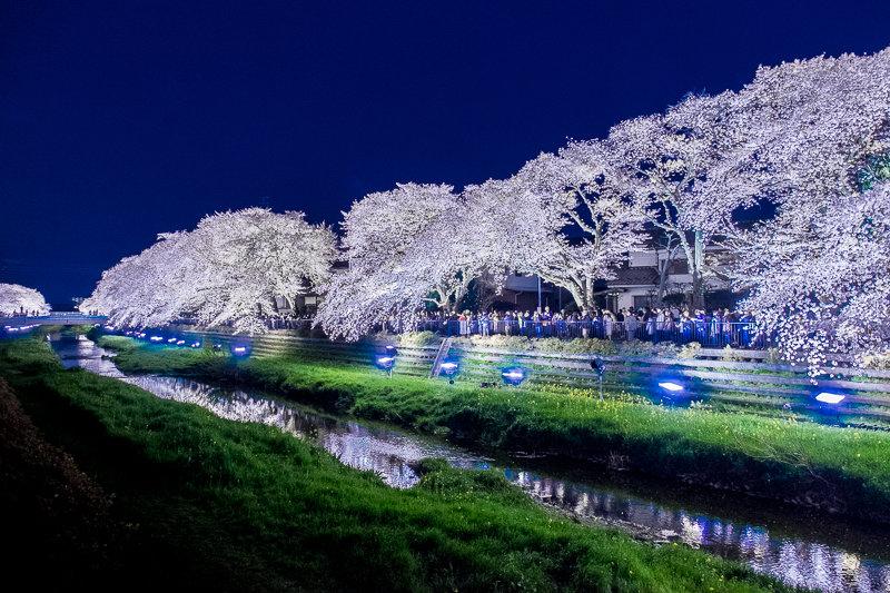20180330_野川桜ライトアップ_1