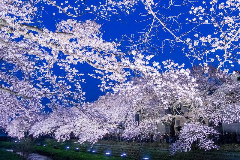 20180330_野川桜ライトアップ_8