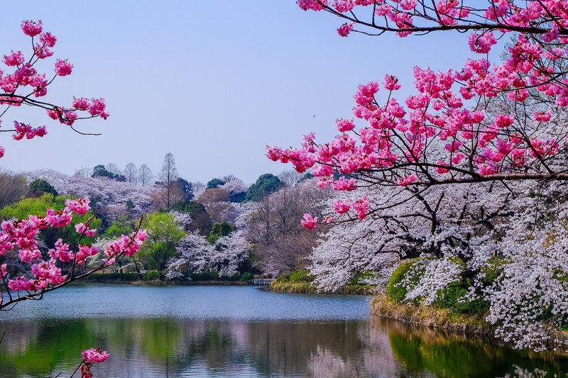 20180327_三ッ池公園桜__4