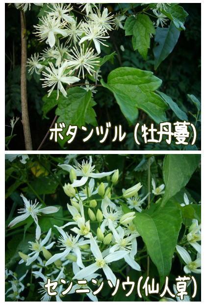 ボタンヅル(牡丹蔓)&センニンソウ(仙人草)