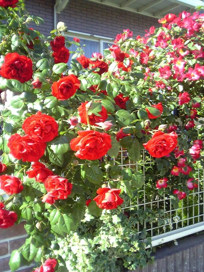 hana rose garden ✽:.。..。.:+・゚・