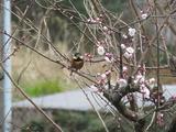 梅とヤマガラ