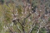 今頃咲く我が家の梅の花