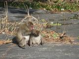 猿の親子1