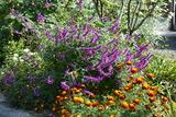 メキシカンセイジが咲く庭