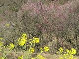 菜の花と梅