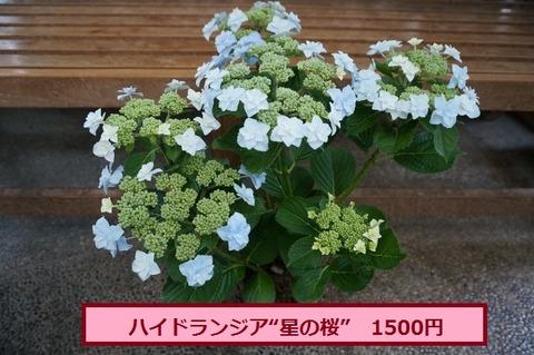 ★星の桜 (640x425)