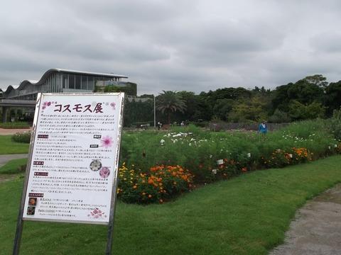 1609005 【コスモスフェア】現在のコスモス花壇 (9月14日)tags[千葉県]
