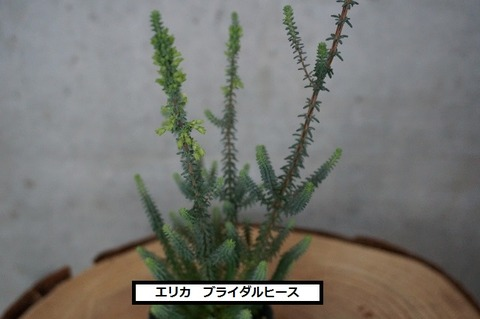ブライダルヒース (4) (640x425)