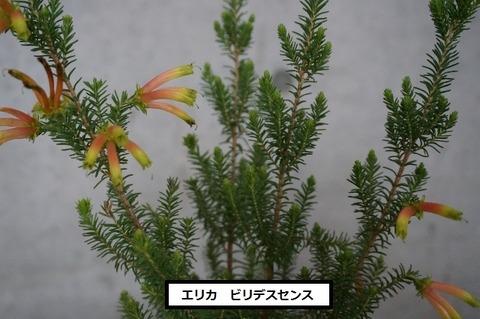 ビリデスセンス (4) (640x425)