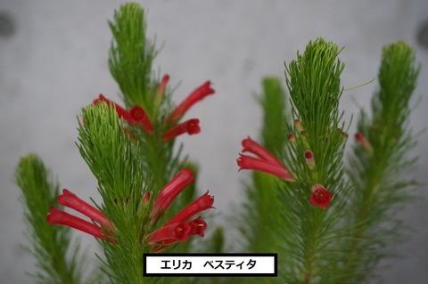 ベスティタ (4) (640x425)