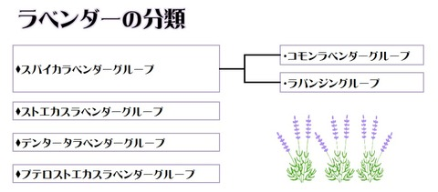 ラベンダーの分類