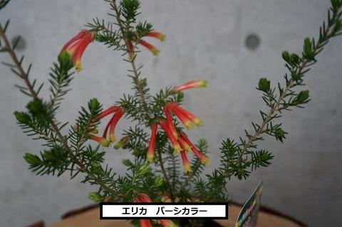 バーシカラー (1) (640x425)