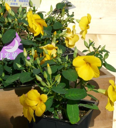 「幸せを呼ぶ黄色い花」