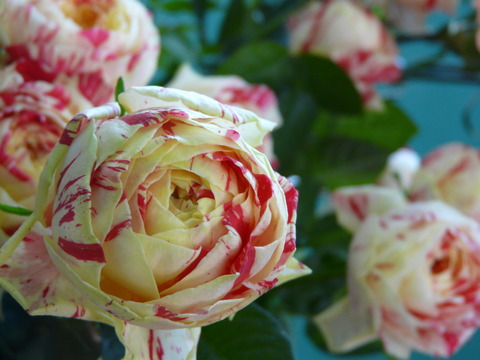 お花プレゼント♪ & 入荷情報「Rose」