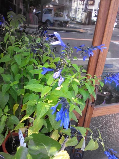 ブルーのお花で涼しい気持ちに♪メドーセージ入荷しました!