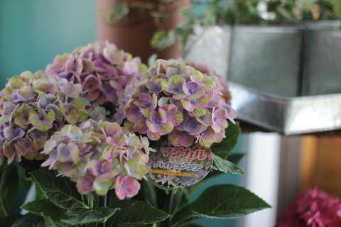 紫陽花が似合う季節♪