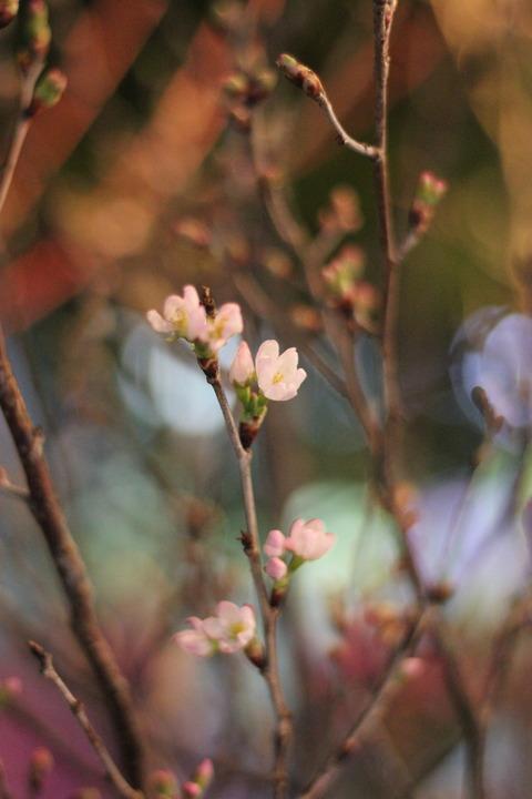 ** 東海桜 **