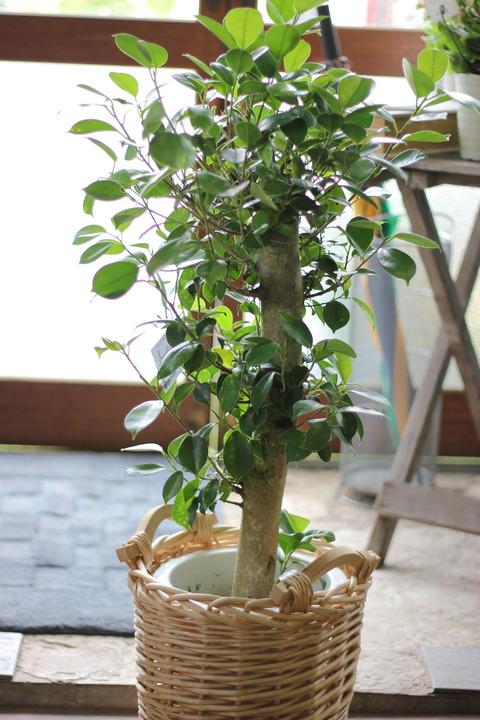 緑のほしい季節♪観葉植物ぞくぞく入荷中!