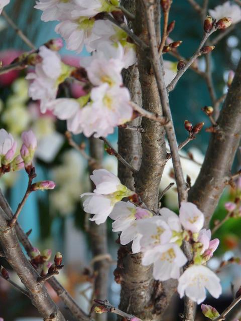 桜咲く「東海桜」