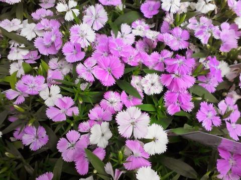 四季咲き*ナデシコ入荷しました❁❀✿✾