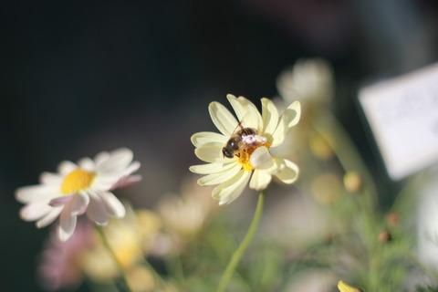 春を運ぶミツバチ♪