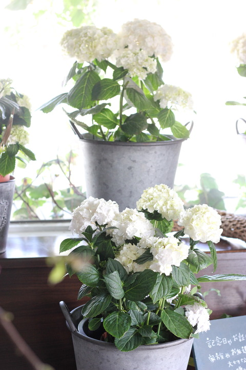 初夏の時期のお花人気のお花