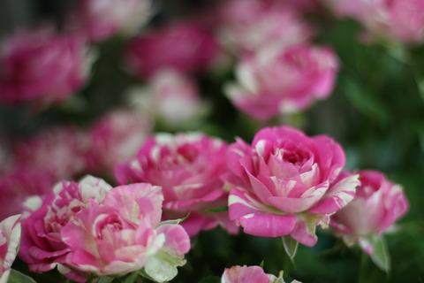 6月はバラの季節です♪