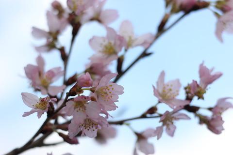 *  桜 *