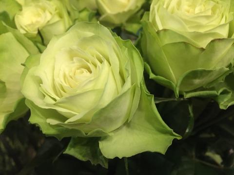 みどりのバラが入りました( ´ ▽ ` )ノ