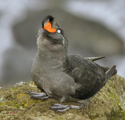 Crested_Auklet_3