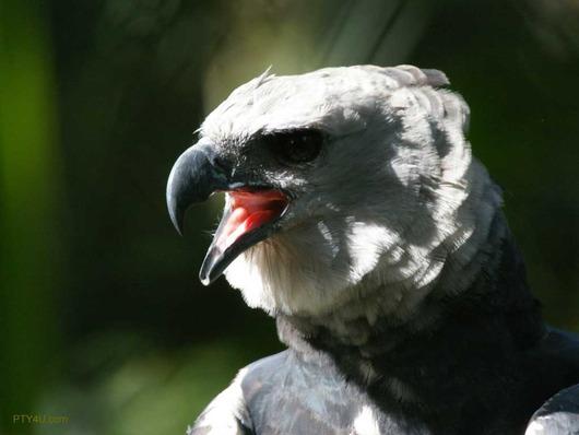 harpy-eagle-1024x768-707578