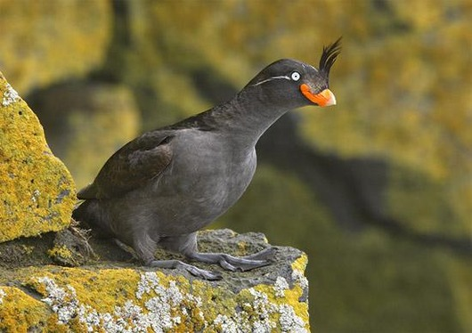 Crested_Auklet_1