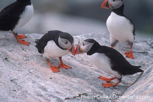 atlantic-puffin-fratercula-arctica-image-03142-588530