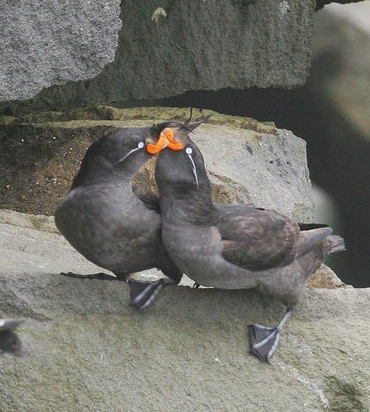 Crested_Auklet_9
