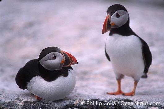 atlantic-puffin-machias-seal-island-picture-03133-172831