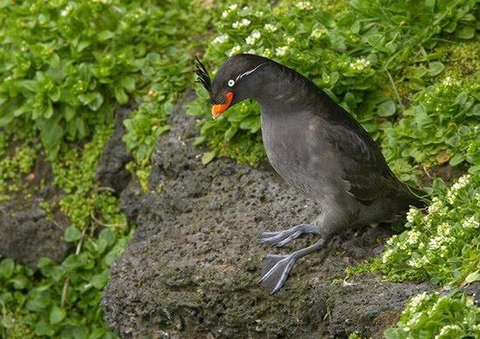 Crested_Auklet_2
