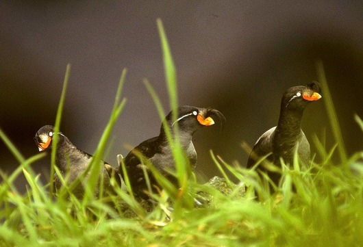 Crested_Auklet_14