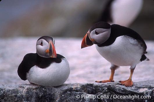 atlantic-puffin-machias-seal-island-image-03134-919019